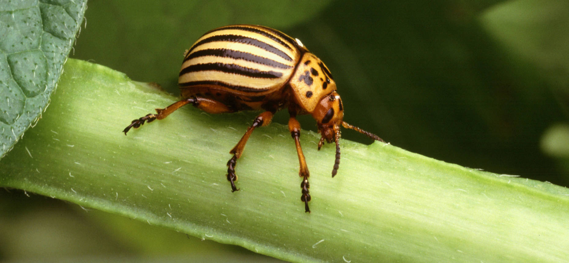 Колорадский жук - Leptinotarsa decemlineata Say