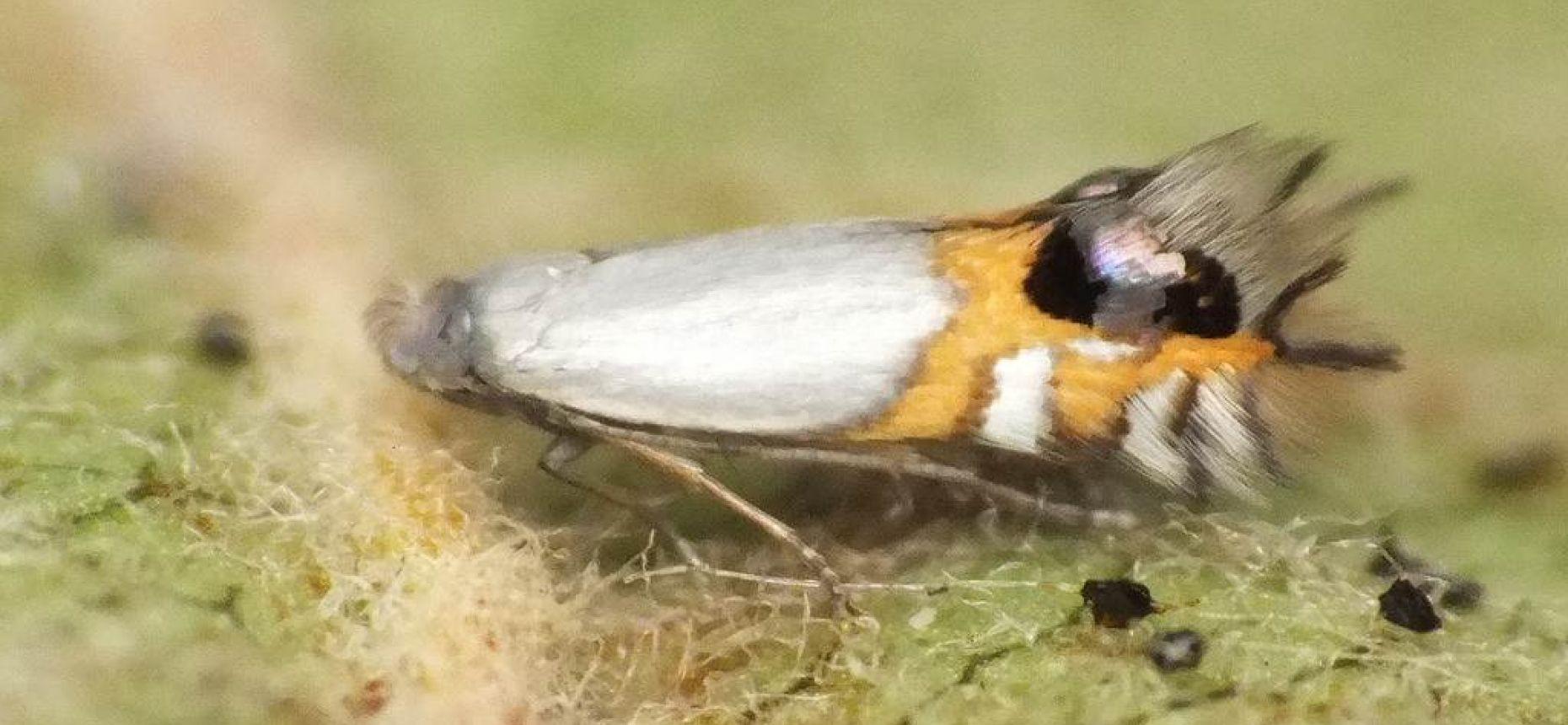 Кружковая моль-минер - Leucoptera malifoliella (Costa)
