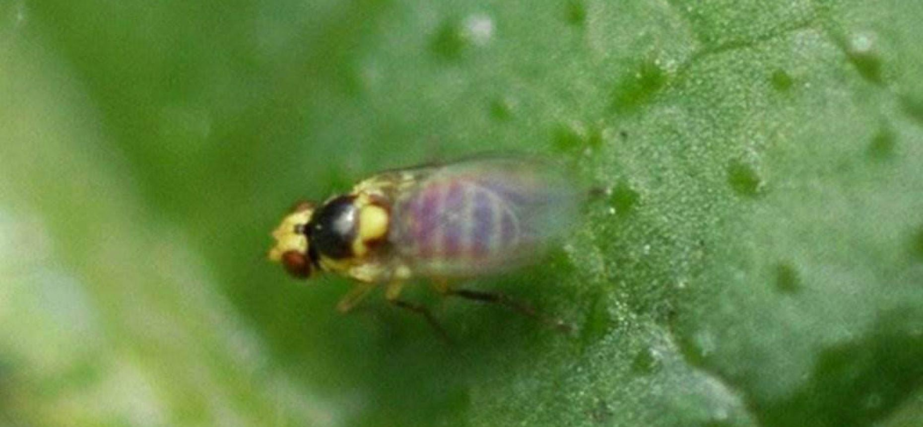 Томатный листовой минер - Liriomyza sativae Blanchard