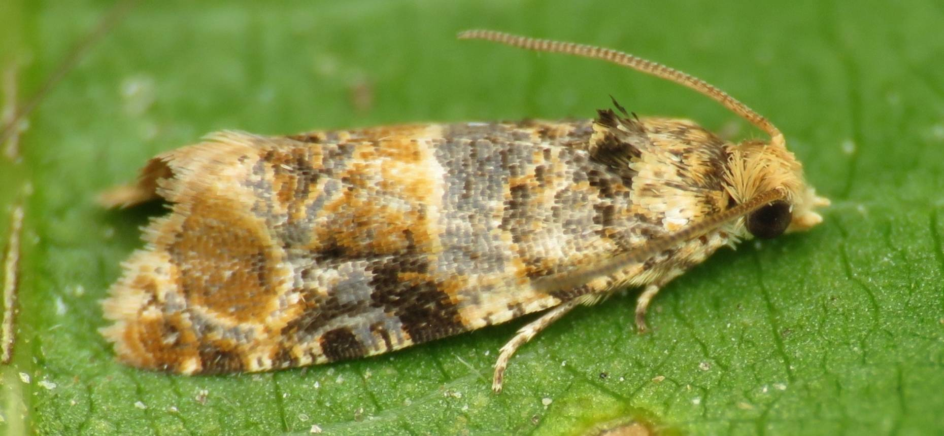 Гроздевая листовертка - Lobesia botrana (Den. et Schiff.)