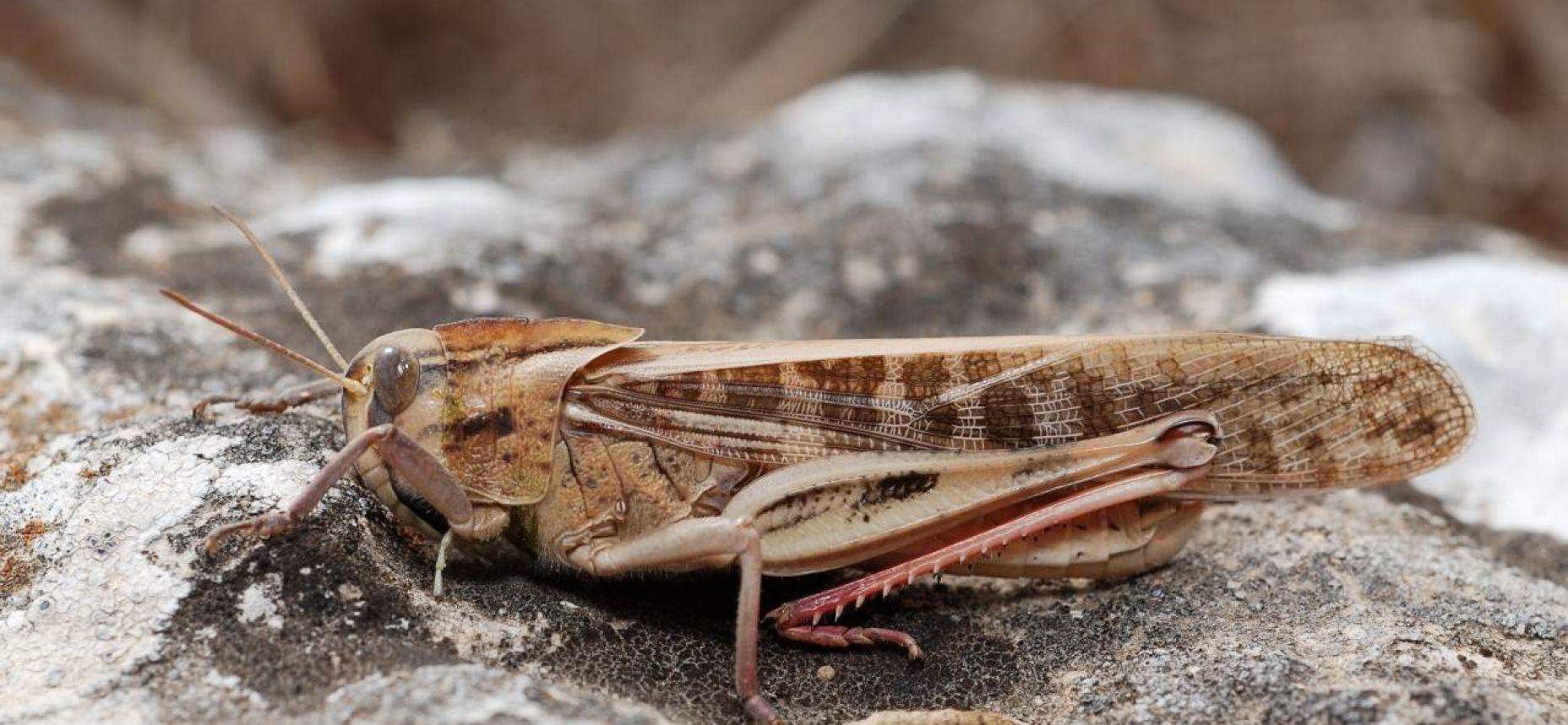 Перелетная саранча - Locusta migratoria L.
