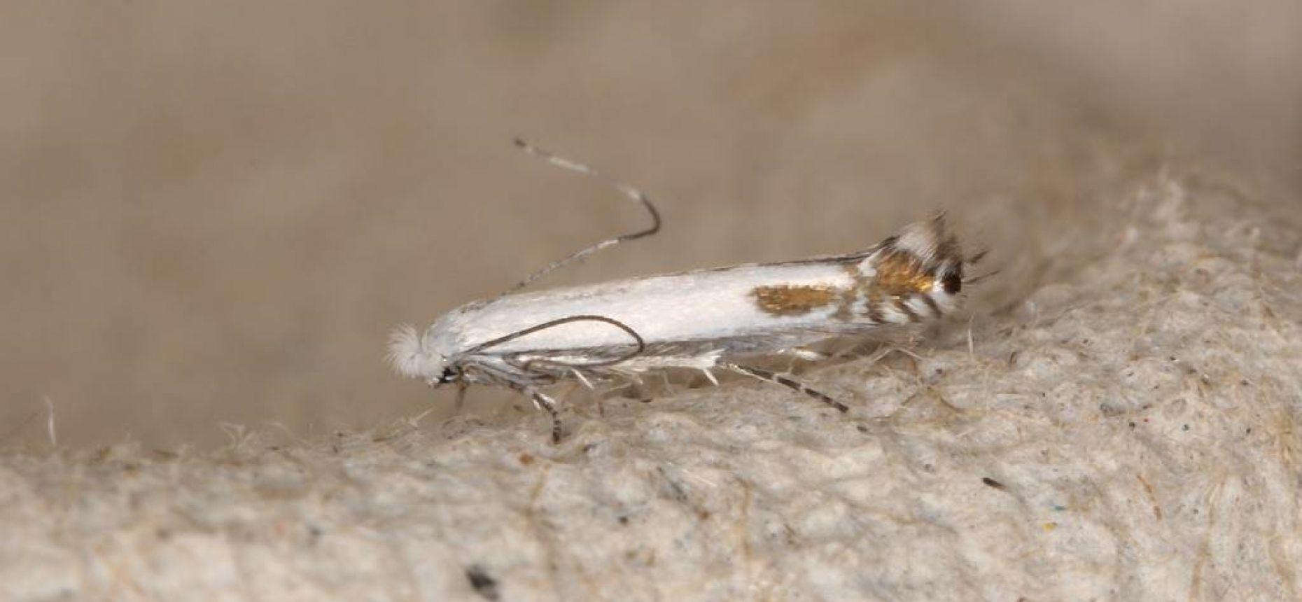 Яблонная белая моль-крошка - Lyonetia clerkella L.