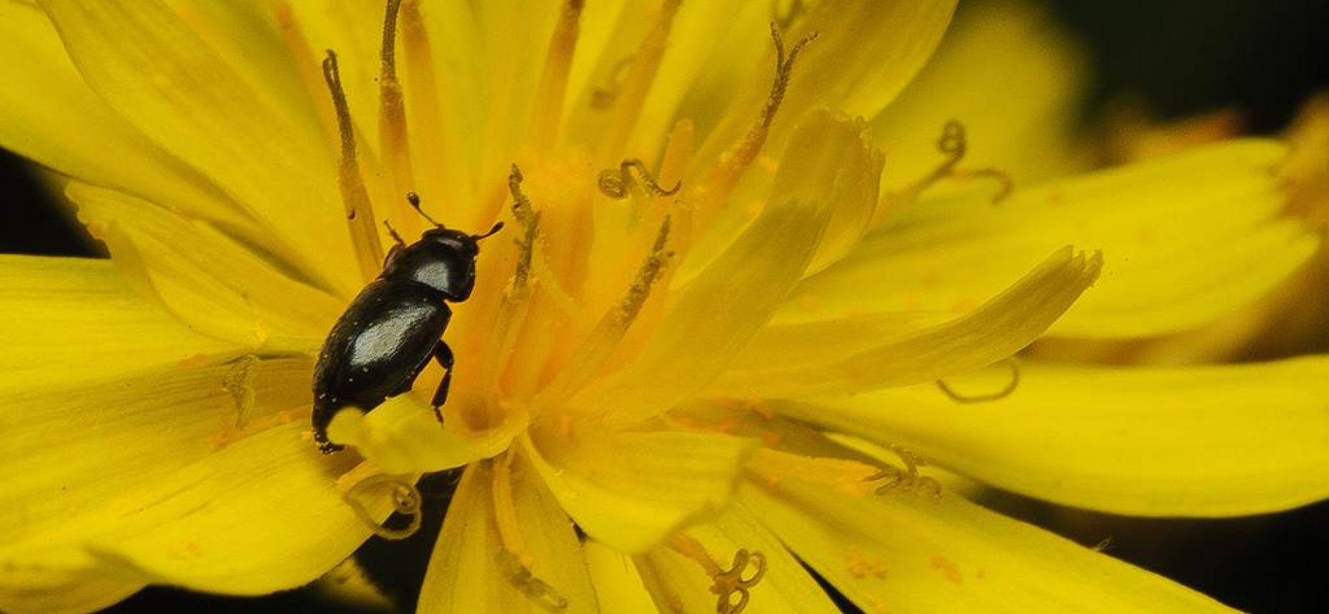 Рапсовый цветоед - Meligethes aeneus F.