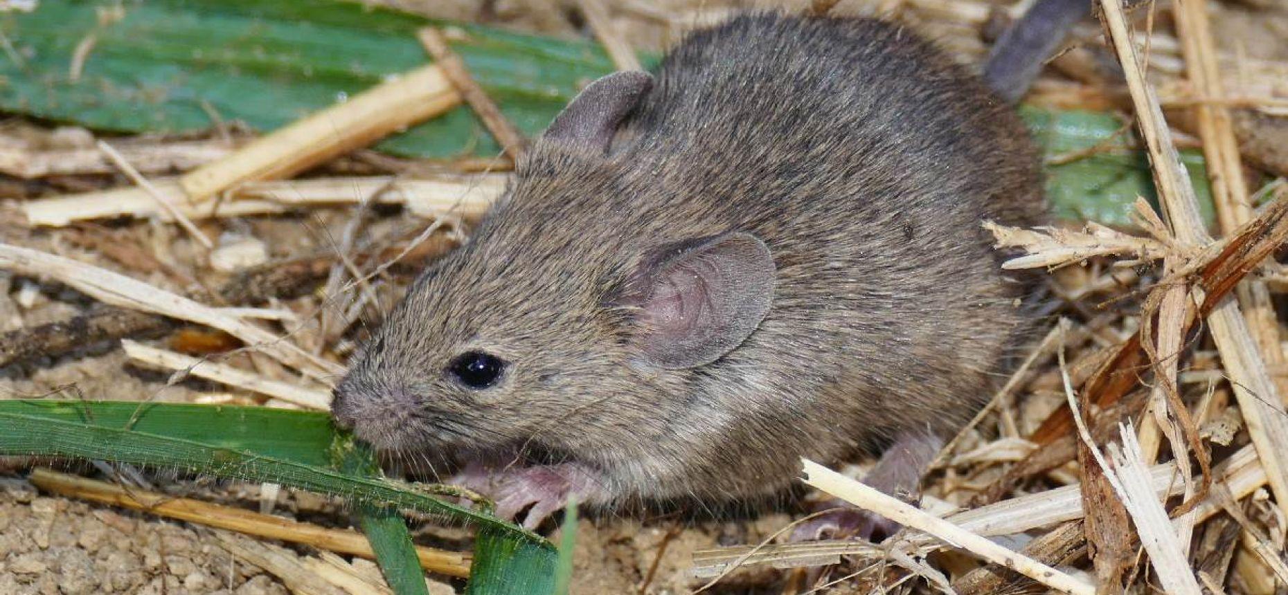Домовая мышь - Mus musculus L.