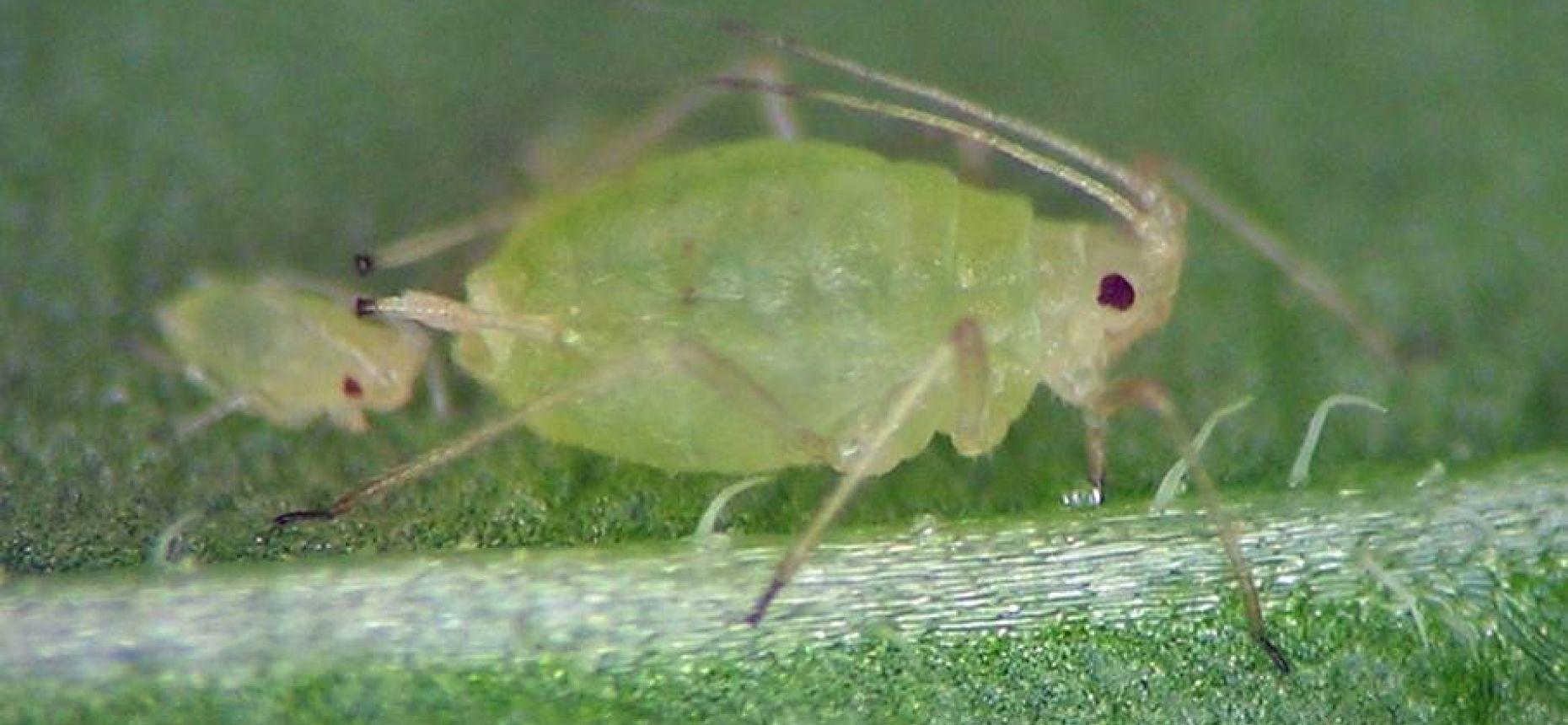 Персиковая оранжерейная (табачная) тля - Myzodes persicae Sulz.