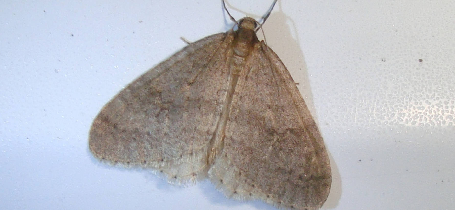 Зимняя пяденица - Operophthera brumata L.