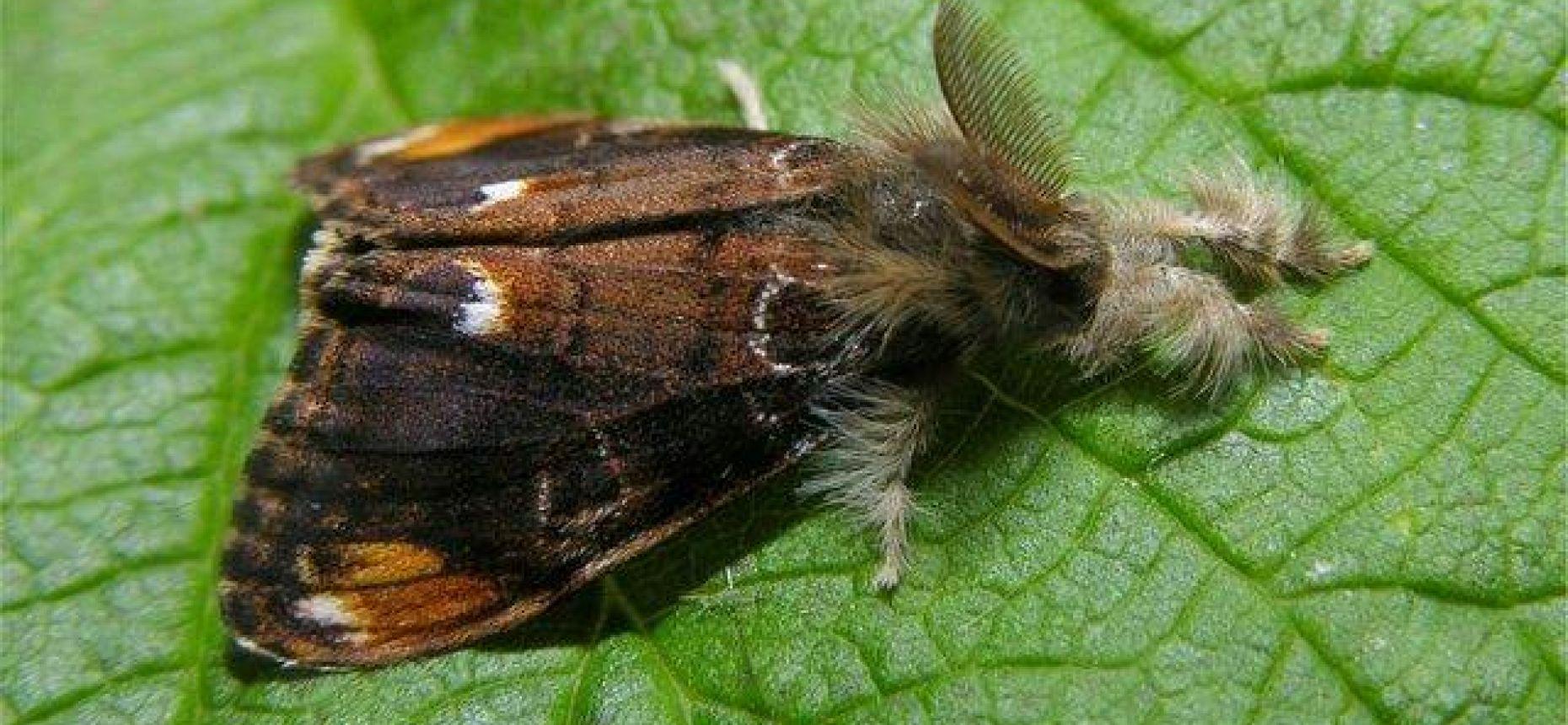 Пятнистый кистехвост - Orgyia recens (Hbn.)