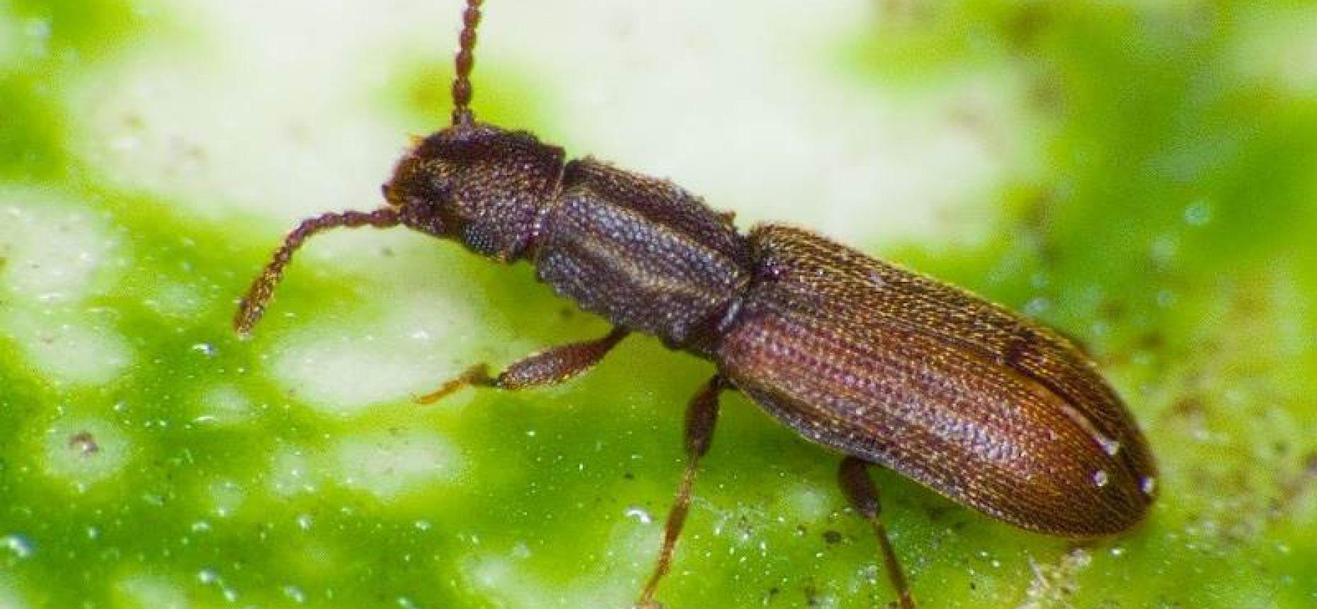 Суринамский мукоед - Oryzaephilus surinamensis L.
