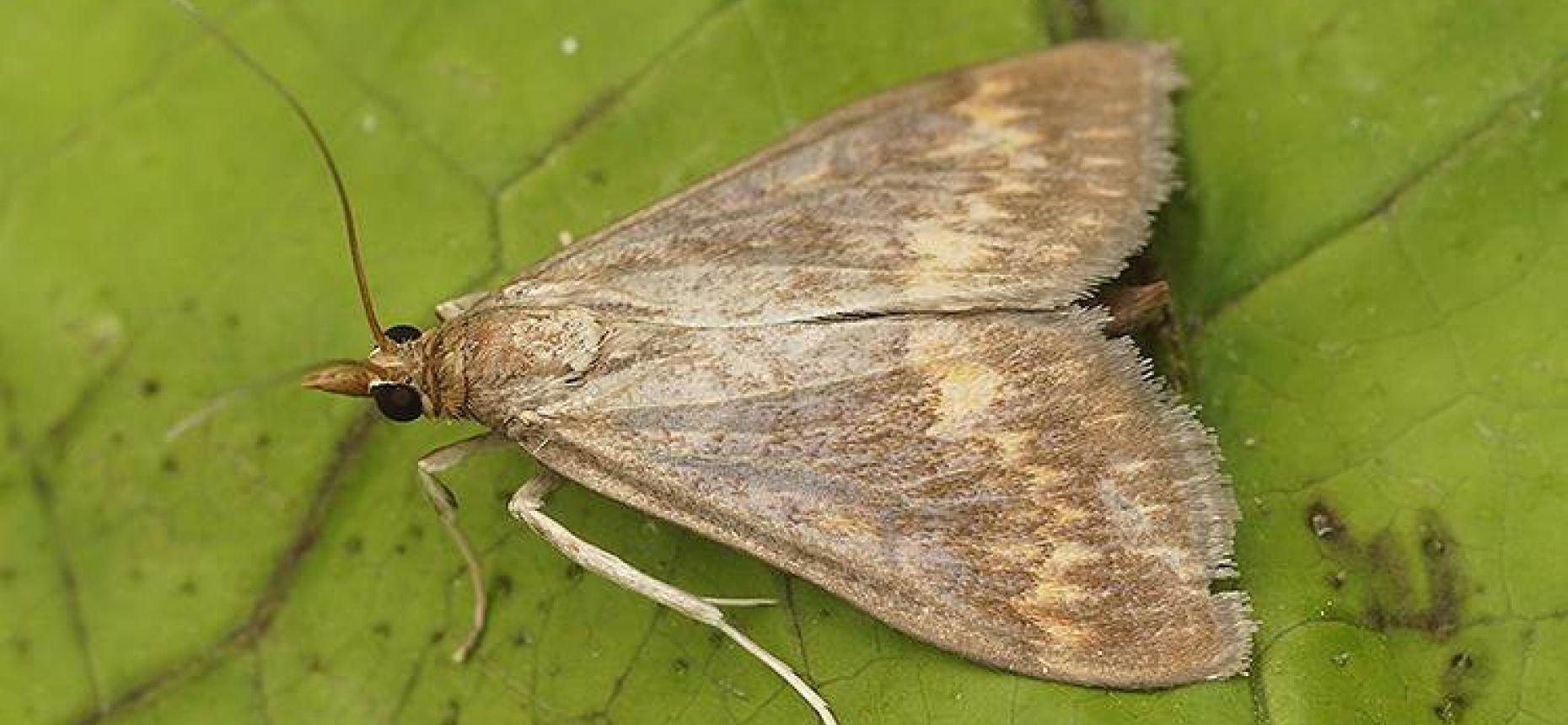 Кукурузный мотылек - Ostrinia nubilalis Hbn.