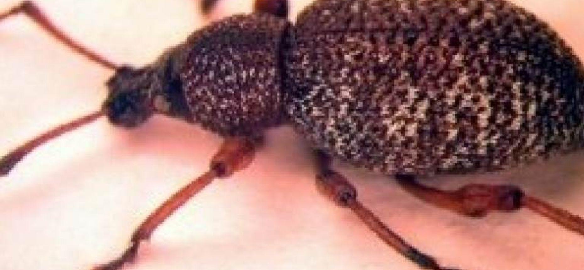 Виноградный турецкий скосарь - Otiorhynchus turca Boheman