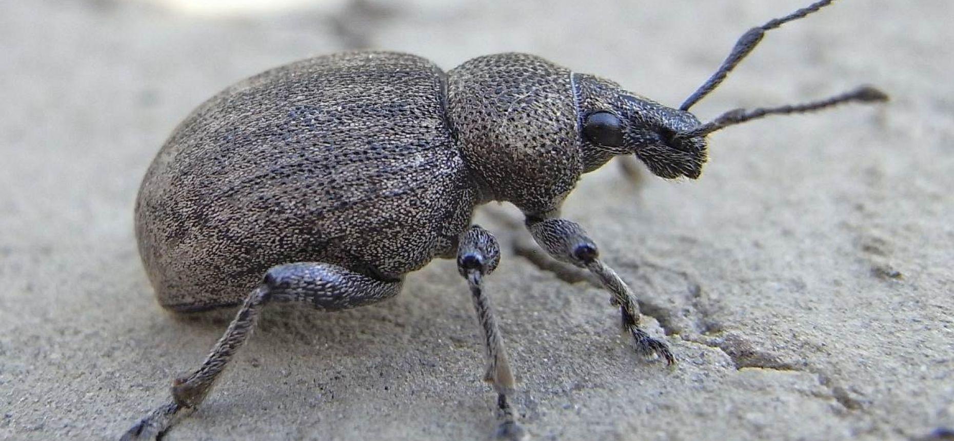 Люцерновый скосарь - Otiorhynchys ligustici L.