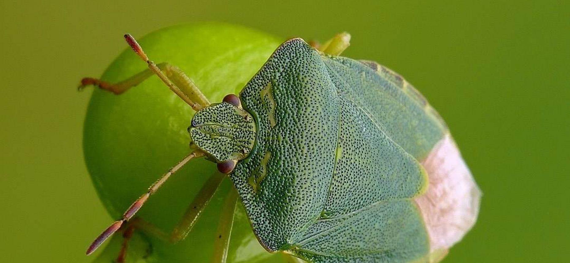 Щитник зелёный - Palomena prasina L.