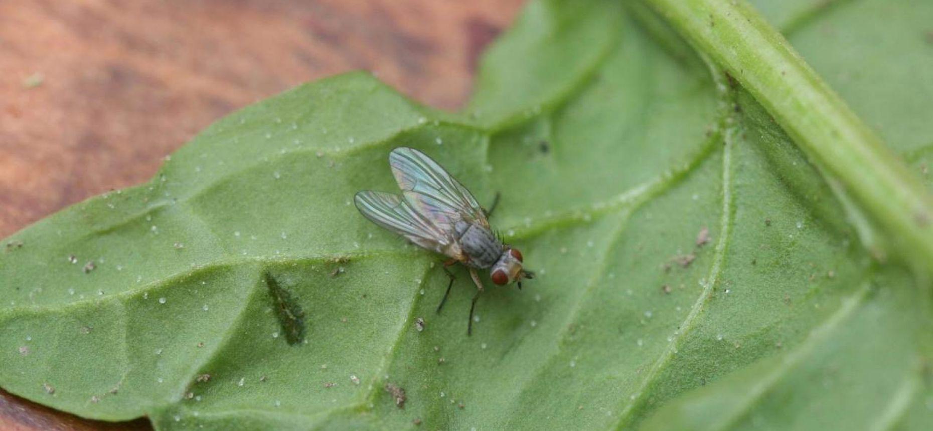 Северная свекловичная муха - Pegomyia betae Curtis.