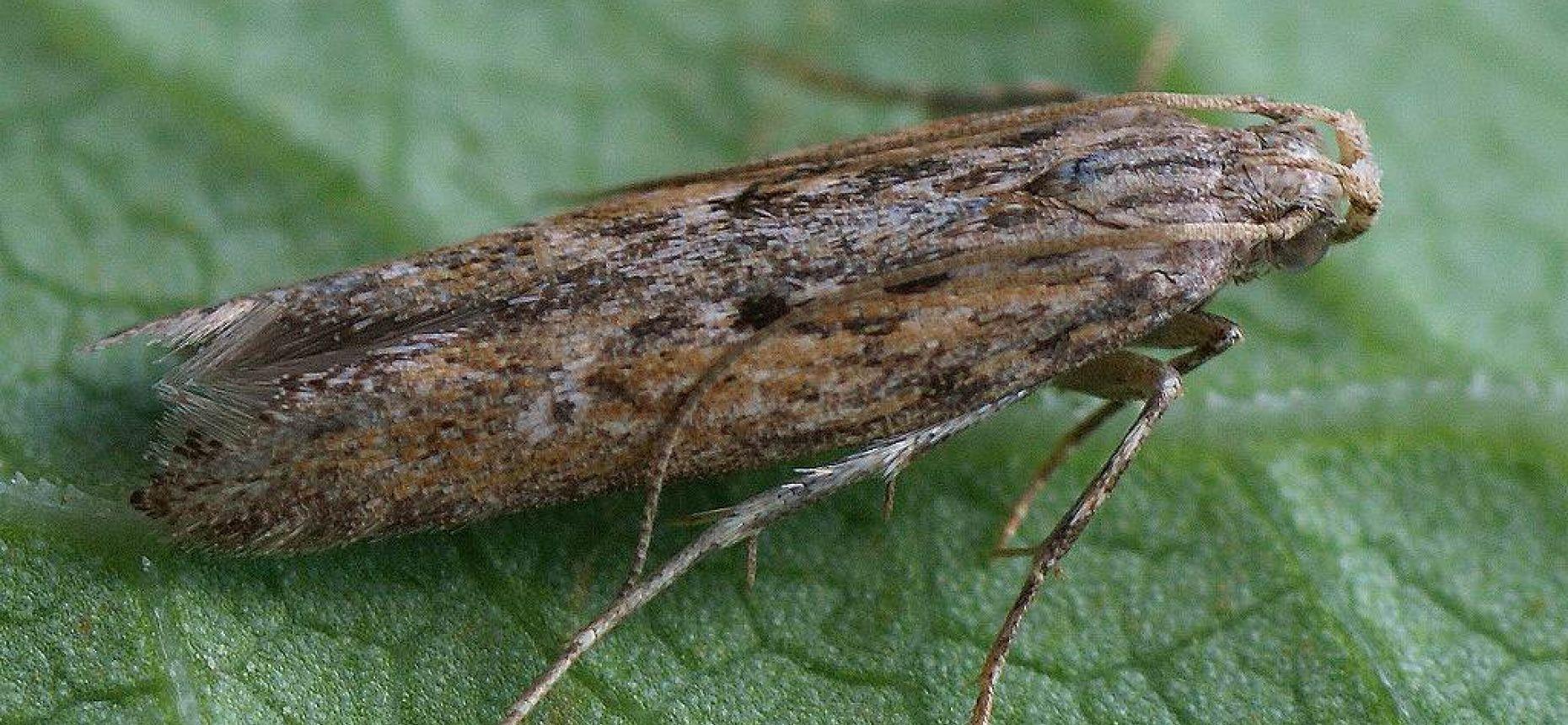 Картофельная моль - Phthorimaea operculella Zel.