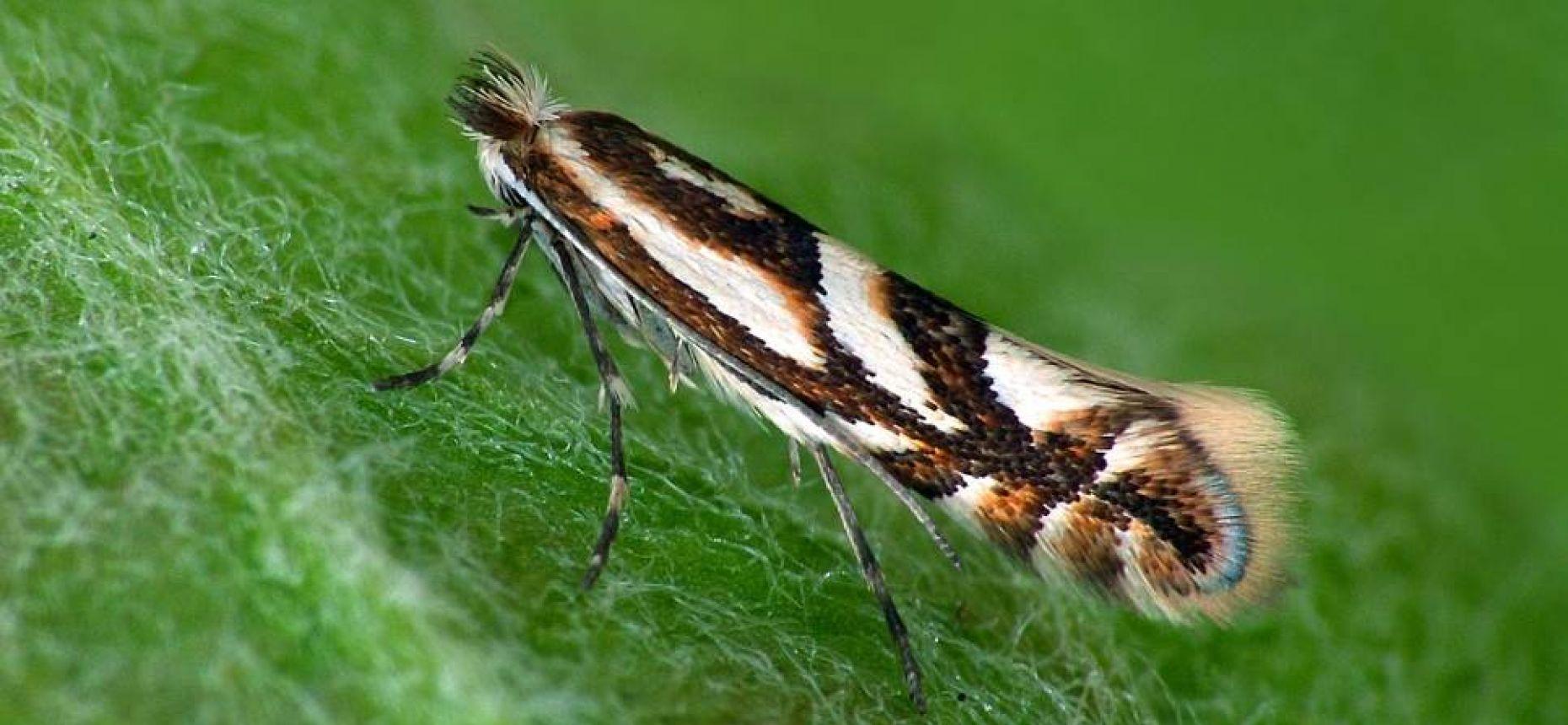 Плодовая нижнеминирующая моль-пестрянка - Phyllonorycter blancardella (Fabricius)