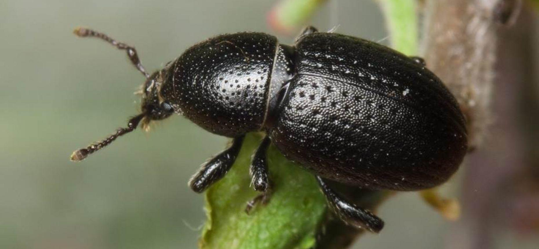 Долгоносик свекловичный чёрный - Psalidium maxillosum Dejean
