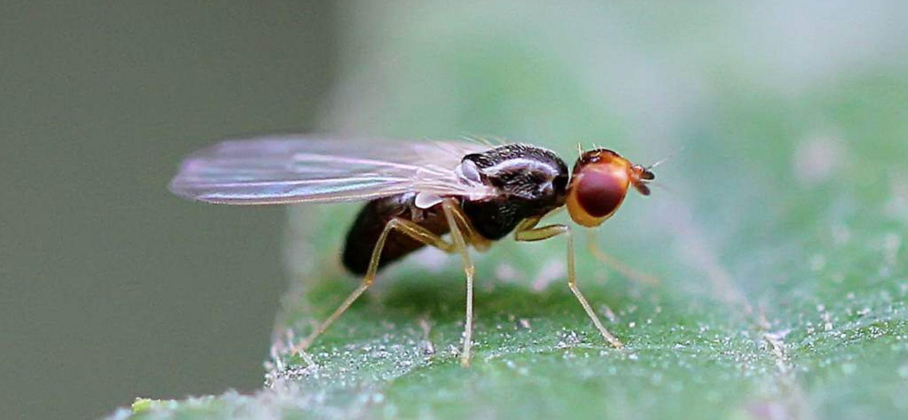 Морковная муха - Psila rosae (F.)