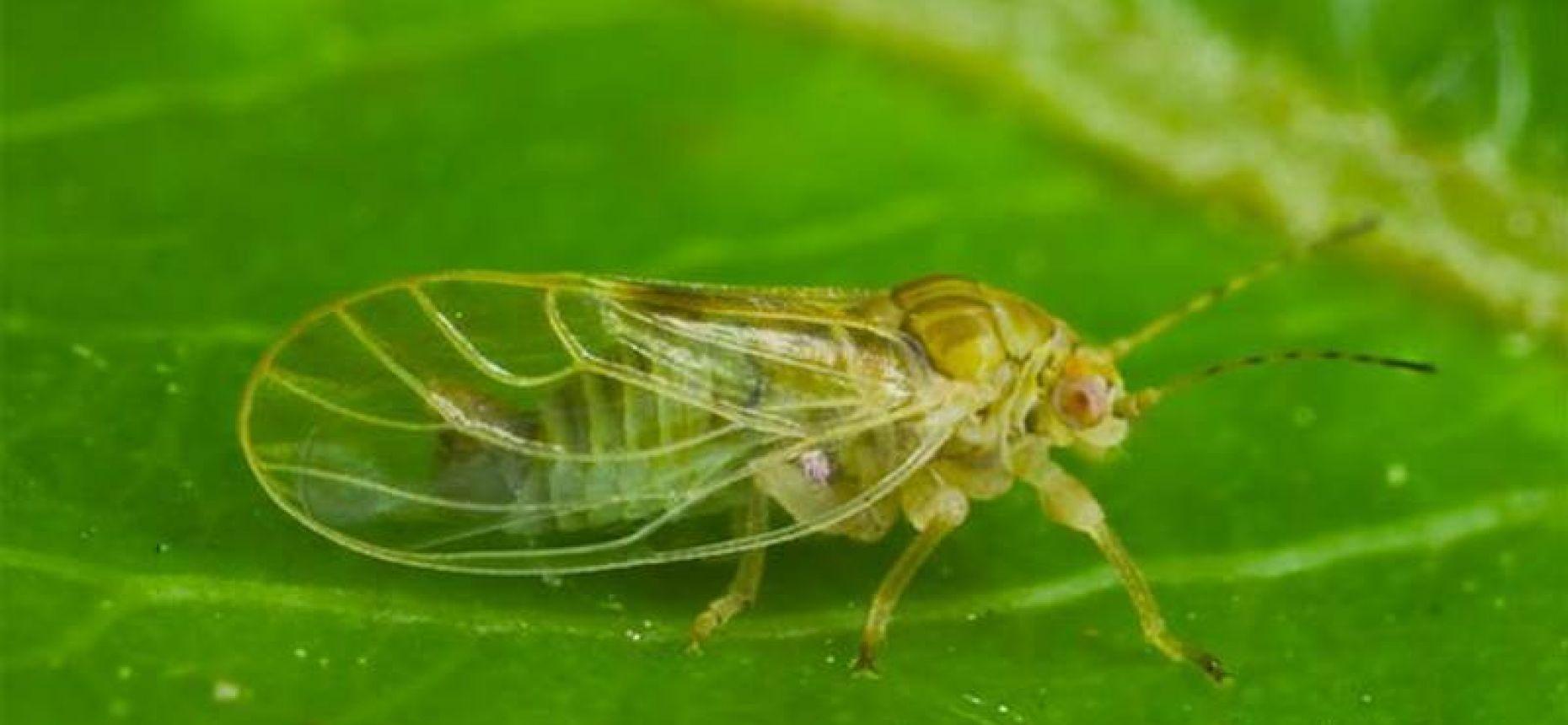 Обыкновенная грушевая листоблошка - Psylla pyri L.