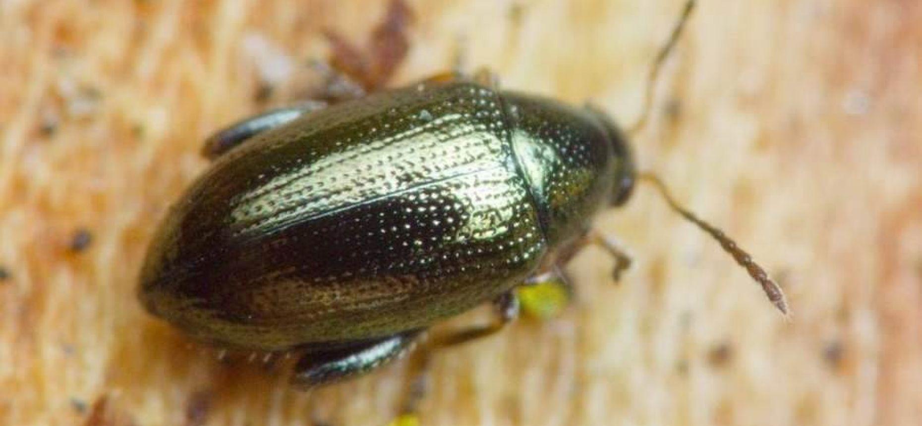 Блошка конопляная - Psylliodes attenuatus (Koch)