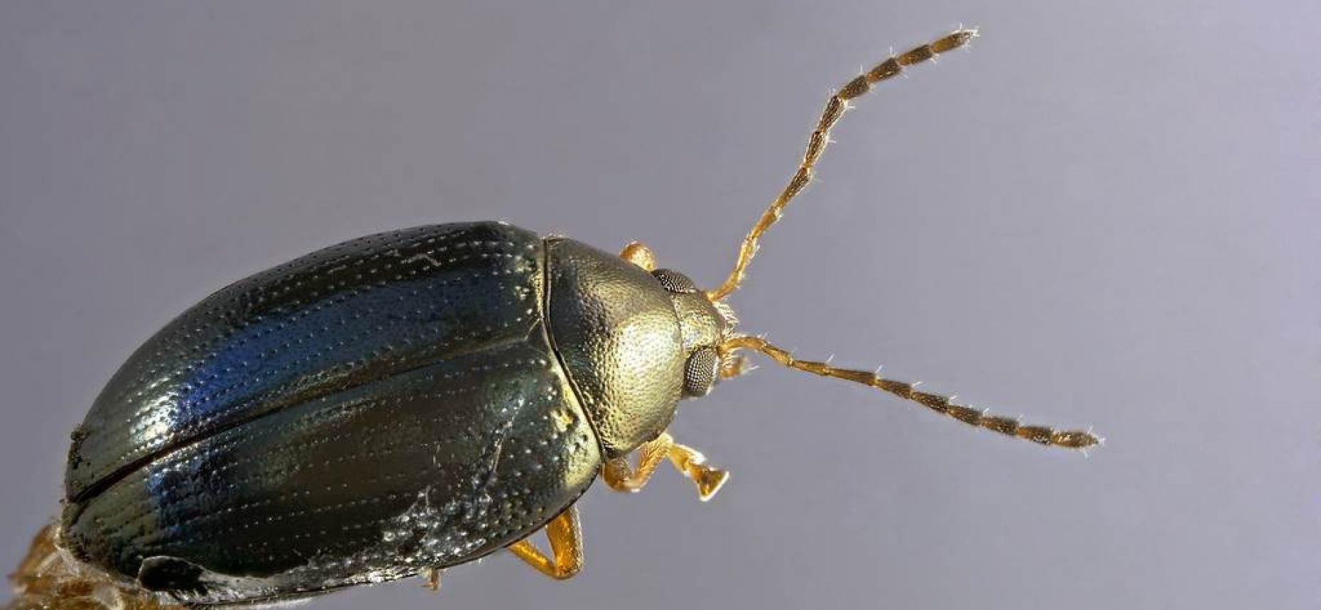 Рапсовая блошка - Psylliodes chrysocephalus (L.)