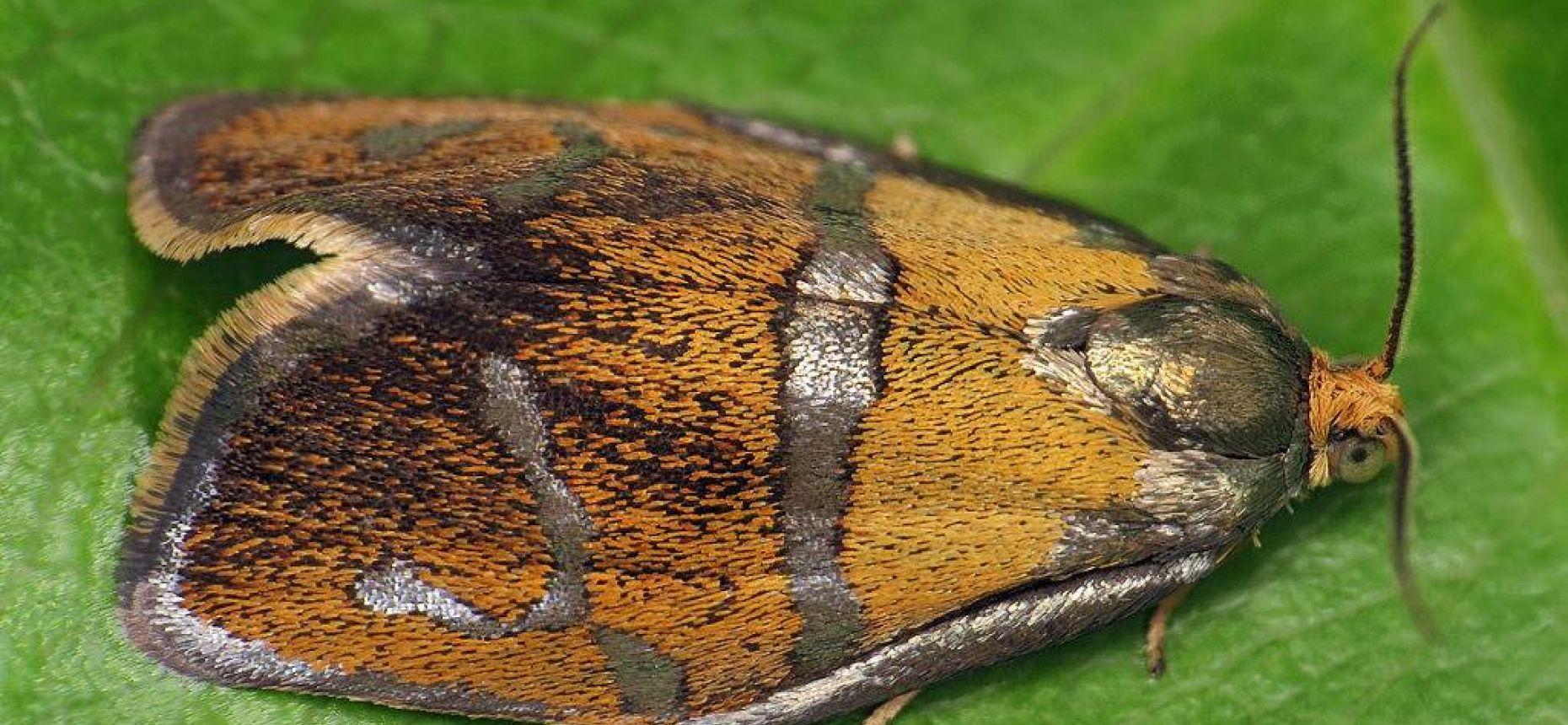 Свинцовополосая листовертка - Ptycholoma lecheana (L.)