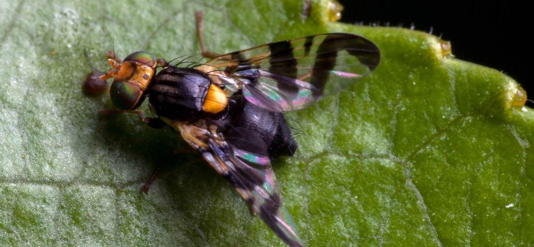 Вишневая муха - Rhagoletis cerasi L.
