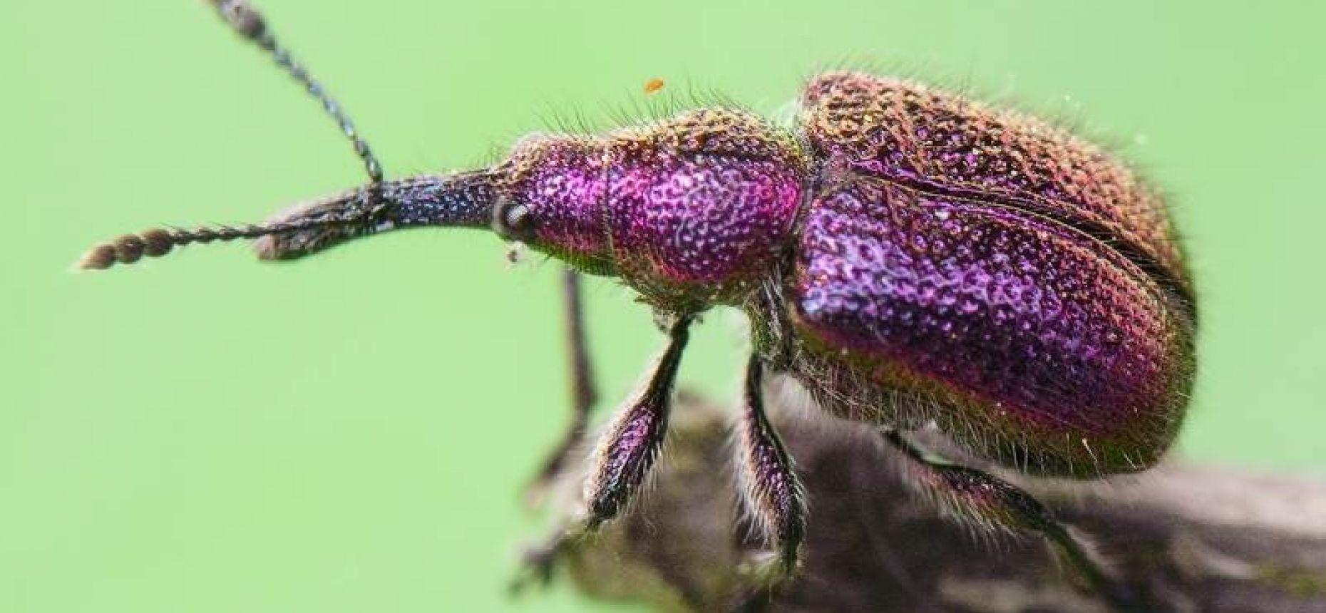 Плодовая казарка - Rhynchites bacchus L.