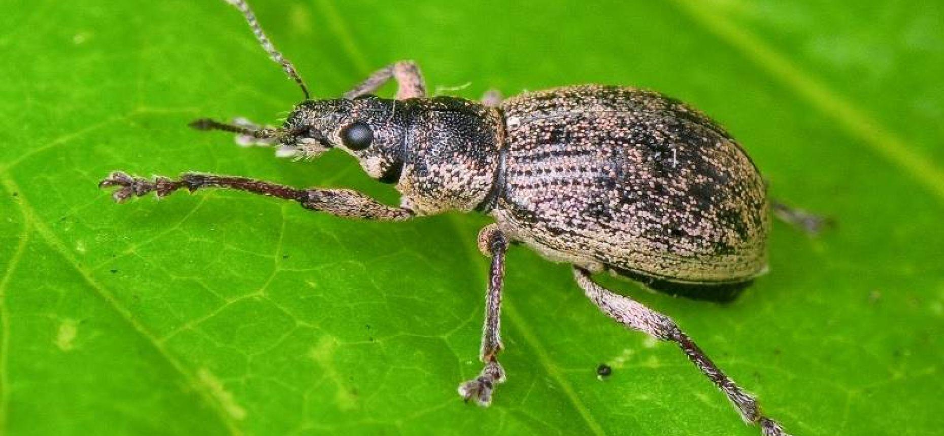 Серый почковый долгоносик - Sciaphobus squalidus Gyll.