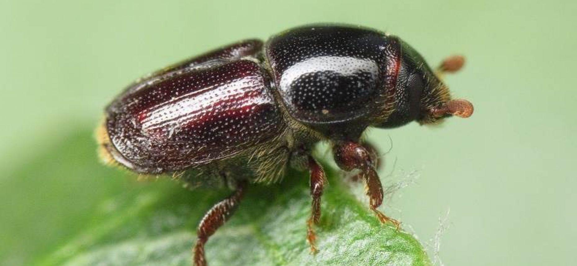 Заболонник плодовый - Scolytus mali(Bechst.)