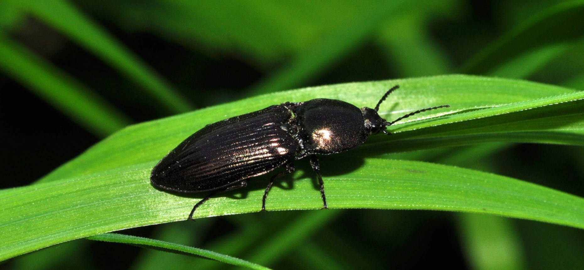 Щелкун блестящий - Selatosomus aeneus L.