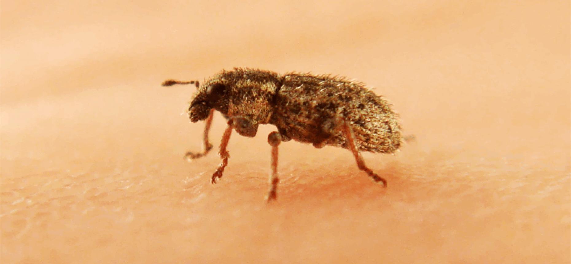 Клубеньковый долгоносик щетинистый - Sitona crinitus Hrbst.
