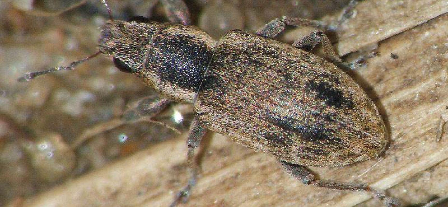 Донниковый (узколобый) клубеньковый долгоносик - Sitona cylindricollis Fahr.