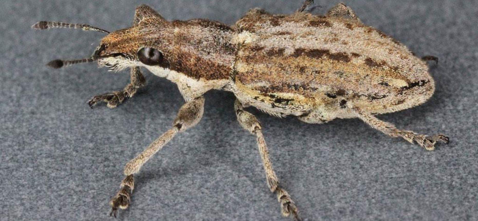 Люпиновый долгоносик - Sitona griseus F.