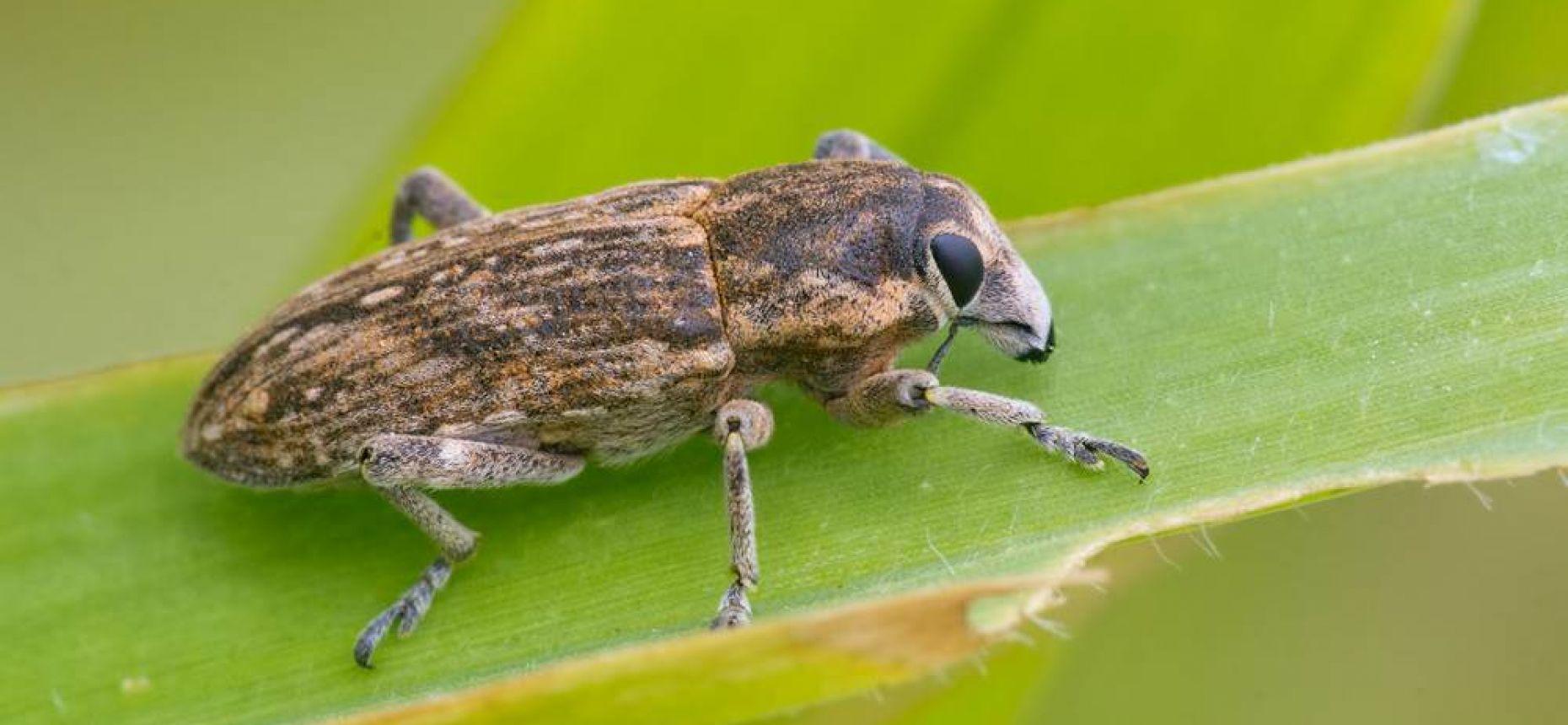 Люцерновый клубеньковый долгоносик - Sitona humeralis Steph.