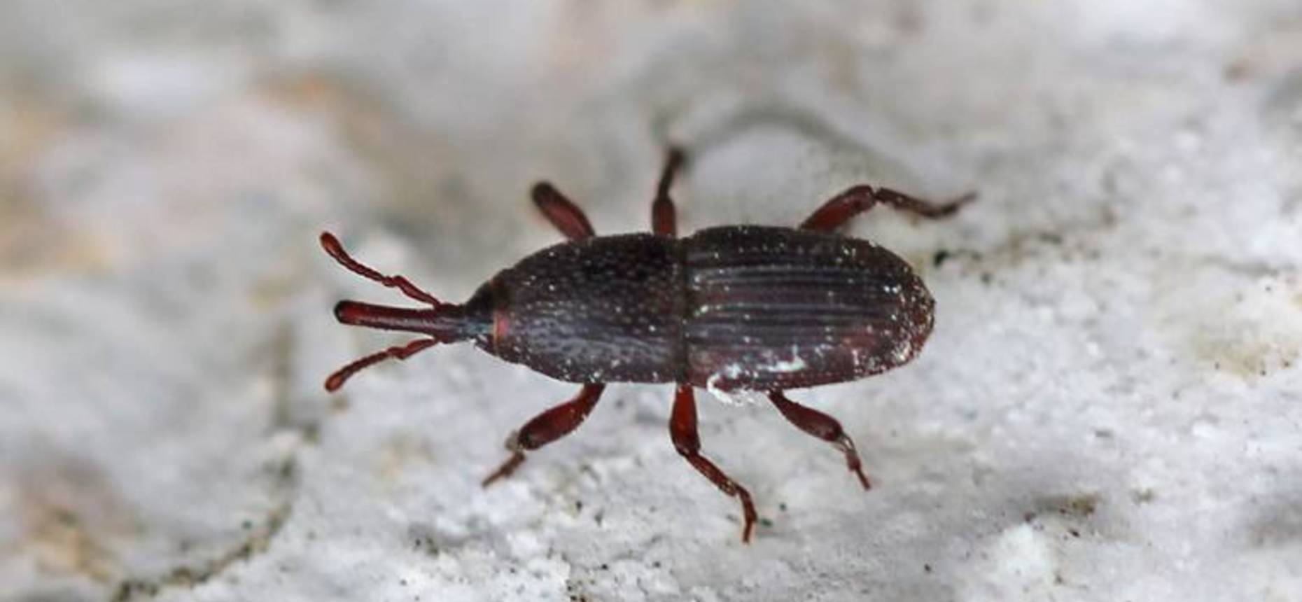 Амбарный долгоносик - Sitophilus granarium L.