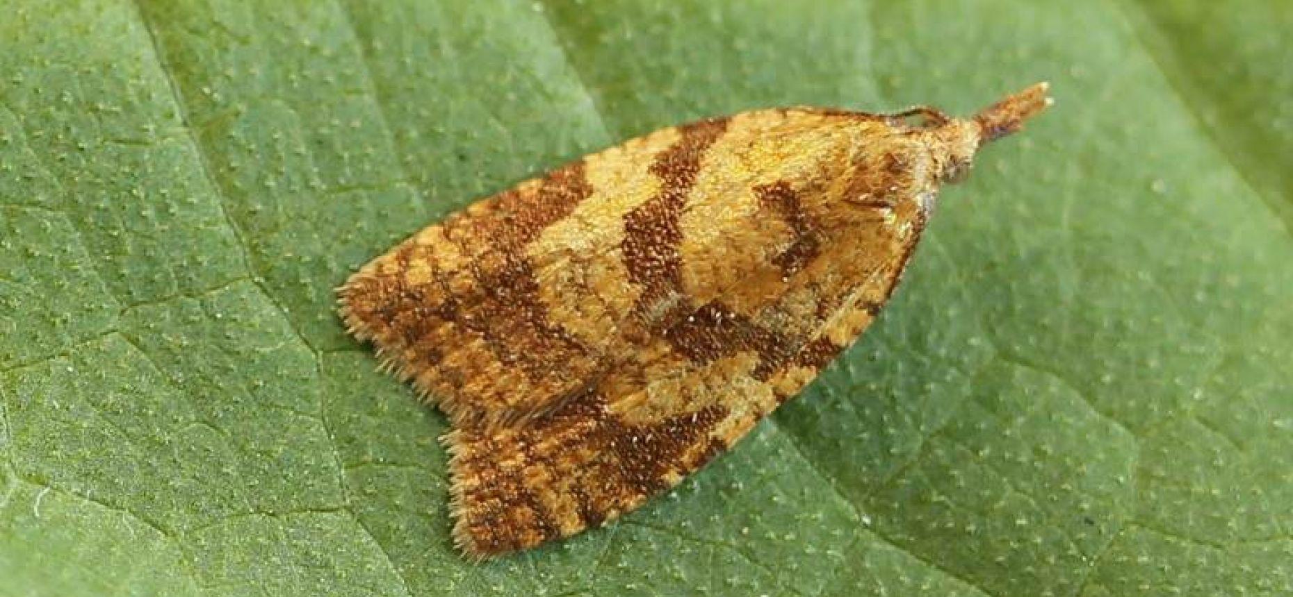Виноградная листовертка - Sparganothis pilleriana (Den. et Schiff.)