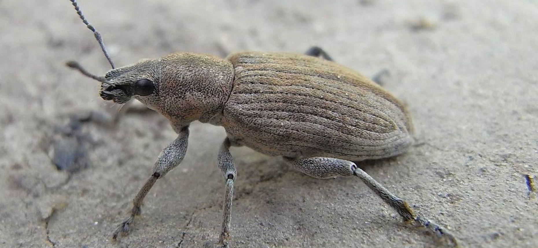Серый свекловичный долгоносик - Tanymecus palliatus F.