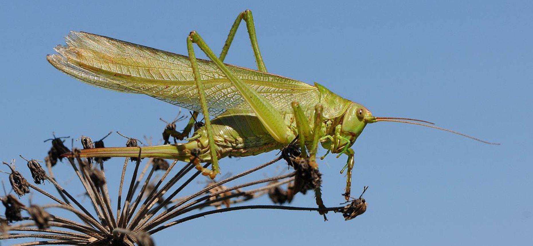Кузнечик зеленый - Tettigonia viridissima (L.)