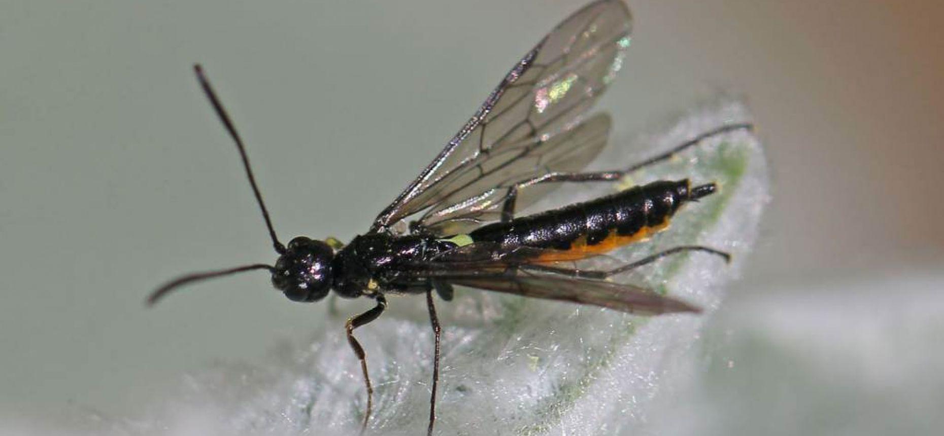 Хлебный черный пилильщик - Trachelus tabidus (F.)