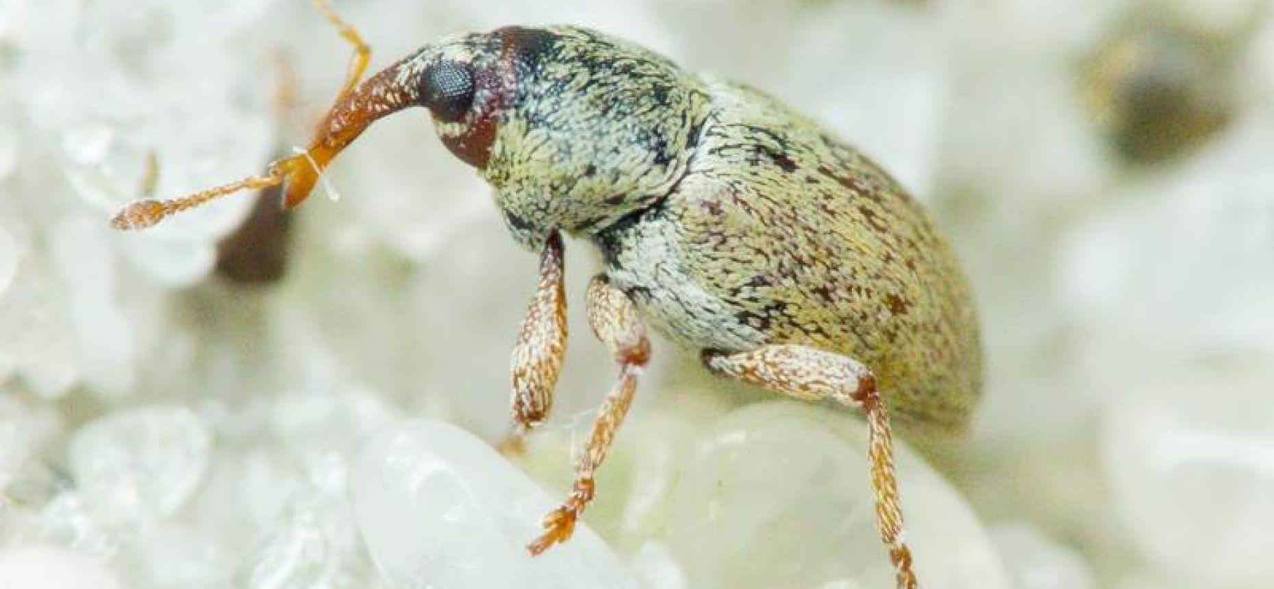 Желтый семяед - Tychius flavus Becker