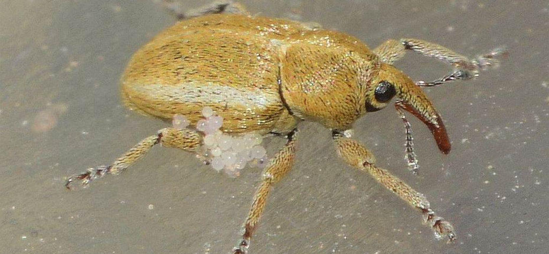 Люцерновый галловый тихиус - Tychius medicaginis Brisout de Barneville