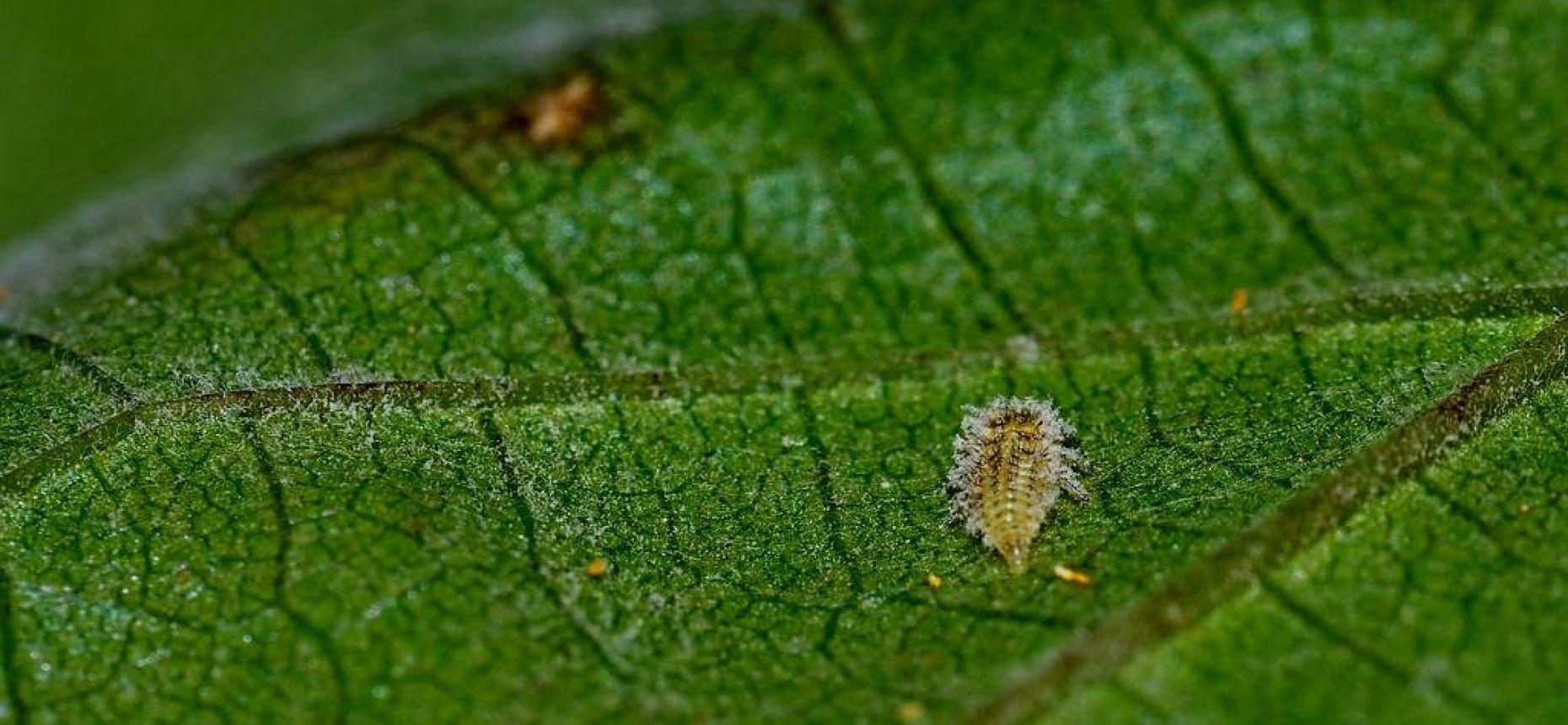 Филлоксера (Тля виноградная) - Viteus vitifolii Fitch.