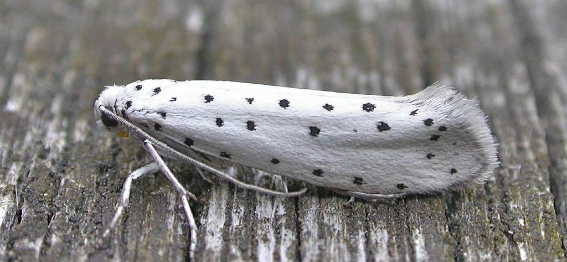 Плодовая горностаевая моль - Yponomeuta padellus L.