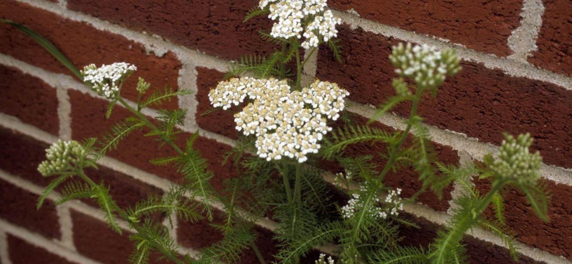 Тысячелистник обыкновенный, Порезная трава - Achillea millefolium L.