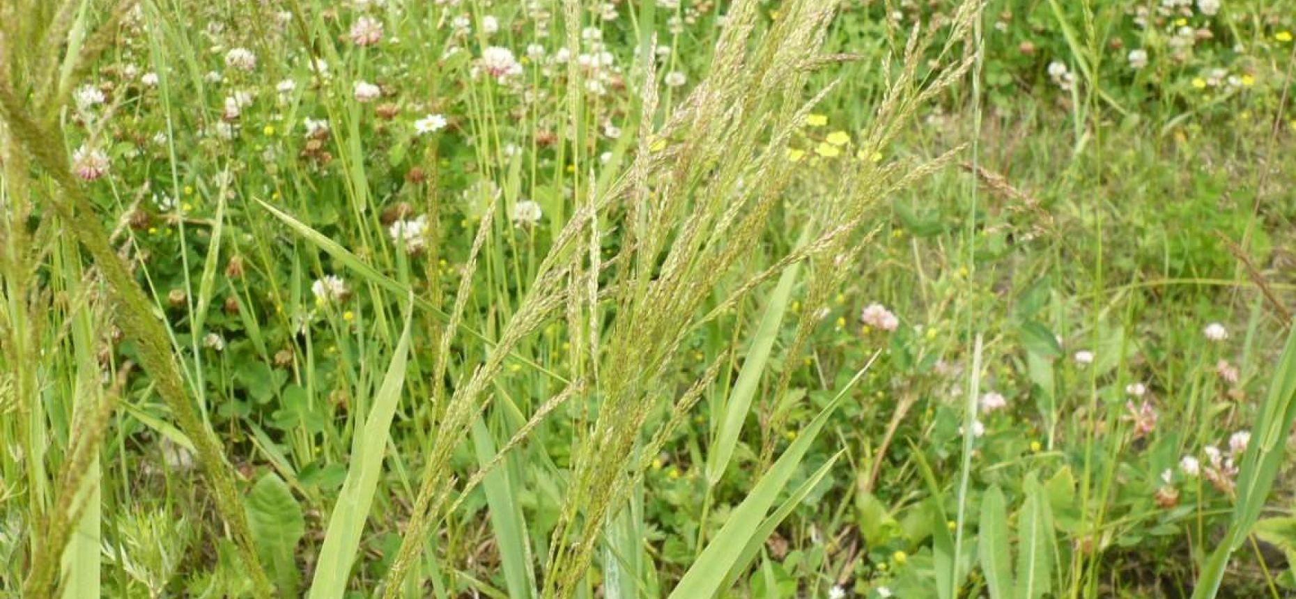 Agrostis gigantea Roth. - Полевица гигантская