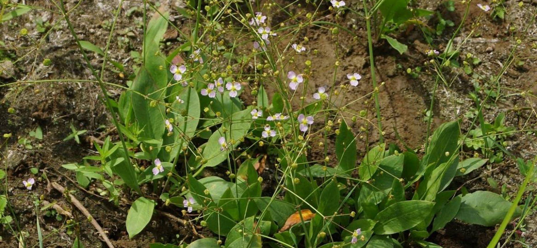 Alisma plantago-aquatica L. - Частуха подорожниковая