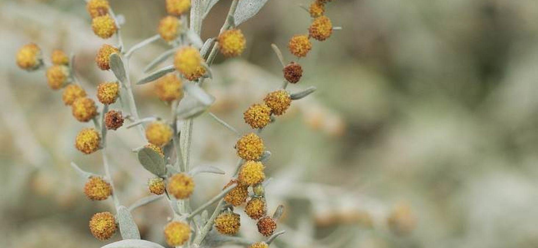 Полынь австрийская - Artemisia austriaca Jacq.