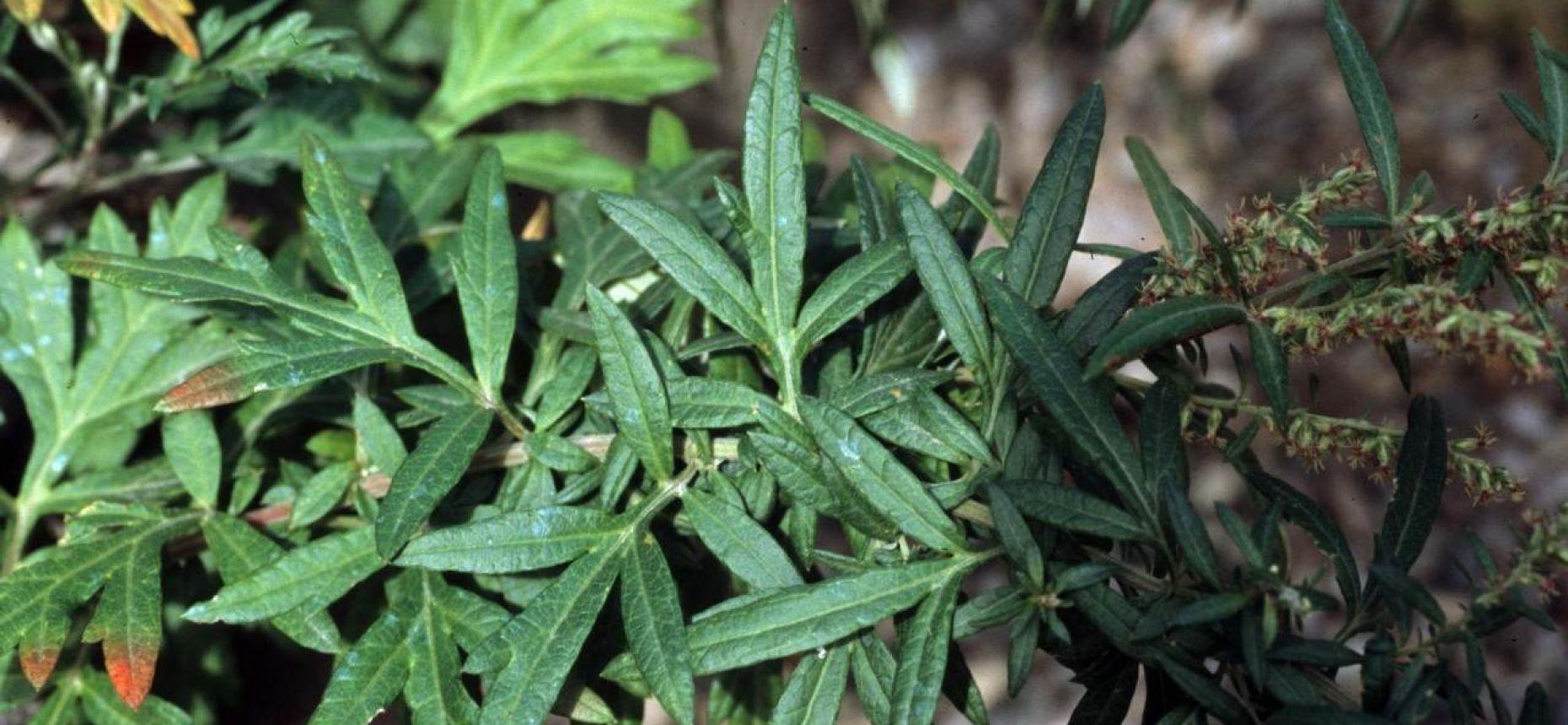 Полынь обыкновенная, чернобыльник - Artemisia vulgaris L.