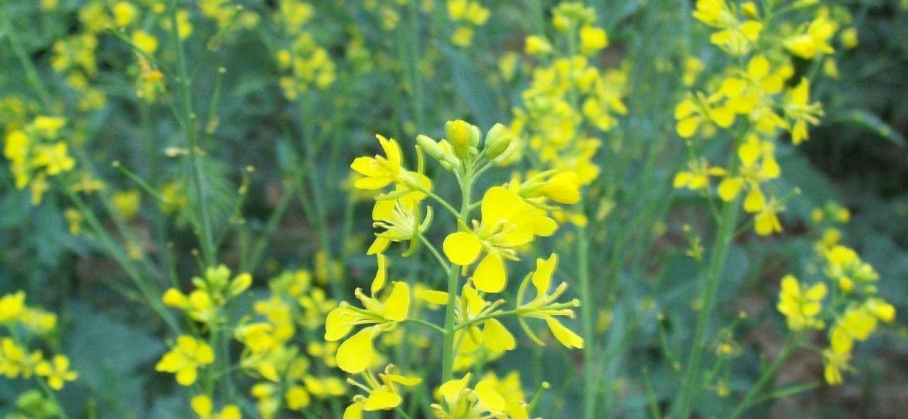 Brassica juncea (L.) Czern. - Горчица сарептская