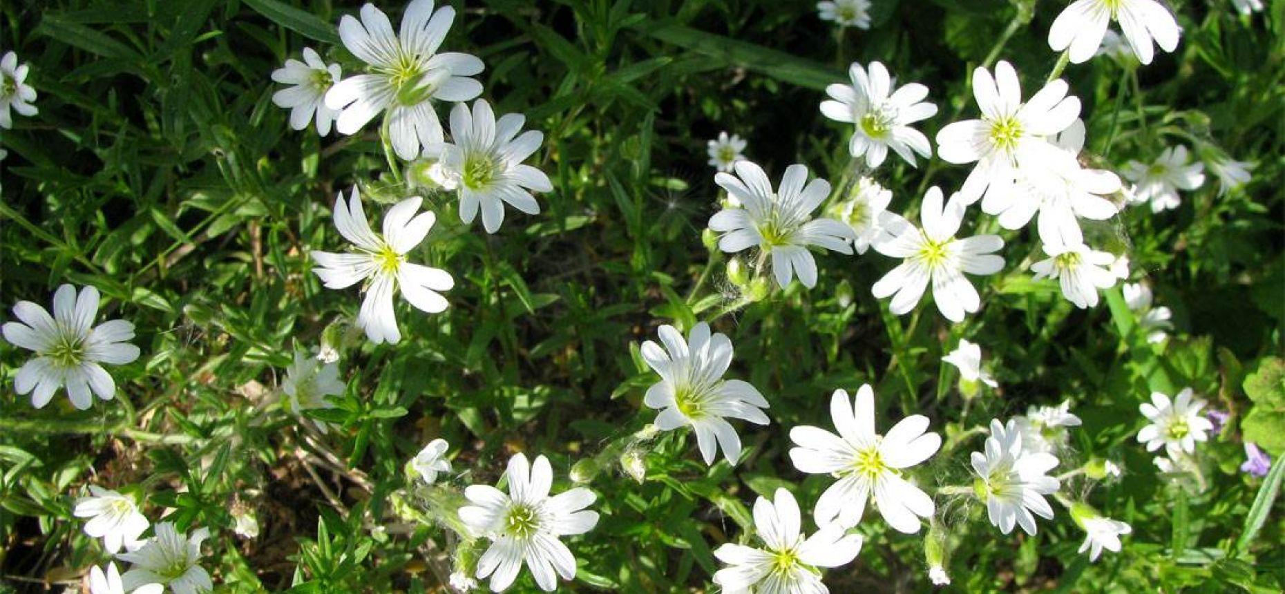 Cerastium arvense L. - Ясколка луговая.